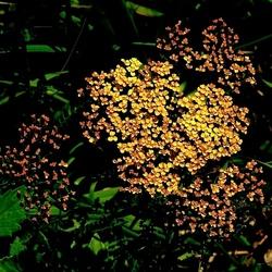 Goudkleurige bloem.