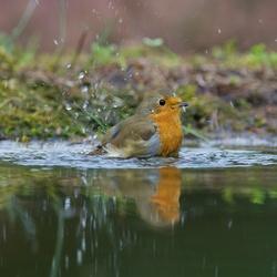 roodborstje neemt bad