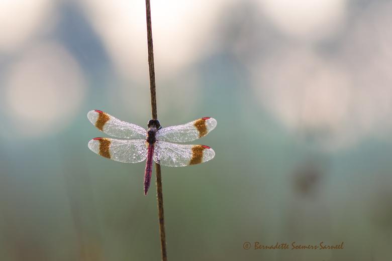 Op de valreep - Bandheidelibellen stonden al lang op mijn verlanglijst om te fotograferen. Vanochtend is het er eindelijk van gekomen. Bij zonsopkomst