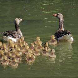 meneer en mevrouw Gans met hun kids
