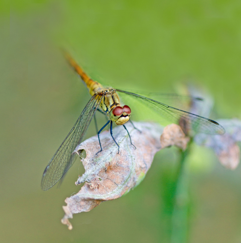 Eucalypta - Er staan zoveel mooie foto's van libelles op zoom.... daarom maar eens een lelijkerd... Eucalypta noem ik haar. De ouderen onder ons