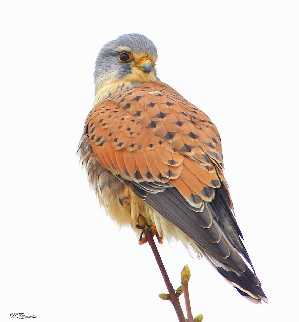 Torenvalk - Torenvalk vind ik persoonlijk een van de sierlijkste roofvogels, foto heb ik gemaakt tijdens dikke mist.