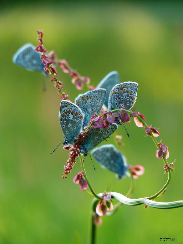 Vlinderdiadeem.... - Net een diadeem, deze zuringboog vol met blauwtjes.