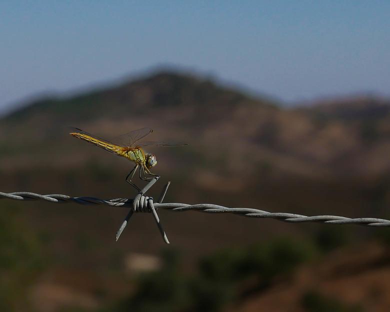 Gaat niet lukken - Alsof de libelle het ijzer terug wil buigen.<br /> <br /> Bedankt voor alle mooie reacties bij de vorige libellenfoto&#039;s. Dit