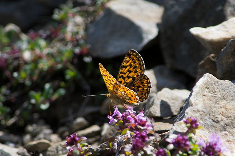 Zonnige vlinder - Juni 2012 - Zwitserland - Nikon D3100<br />