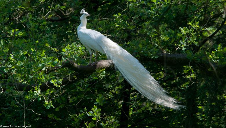 Witte pauw2 - gespot in Staverden