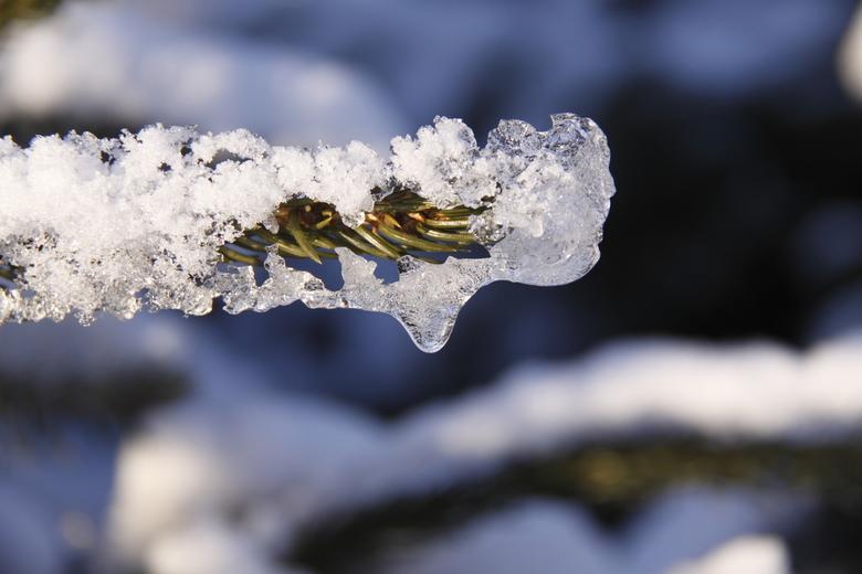 bevroren dennentak -