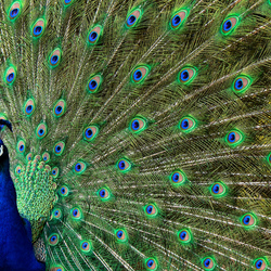 close-up pauw 02