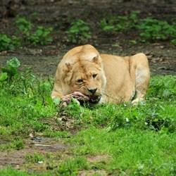 Leeuwin aan de maaltijd