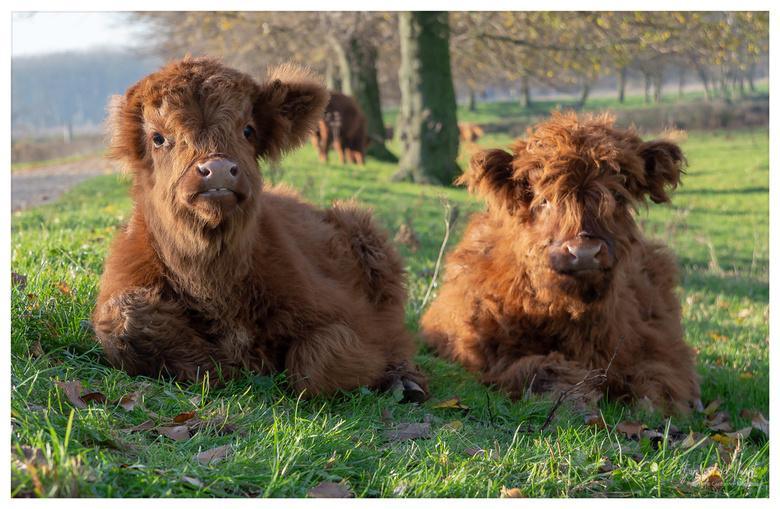 Schotse Hooglanders - Twee jonge schotse hooglanders