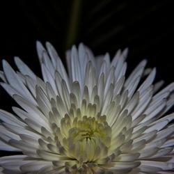 """""""verlichte"""" chrysant"""