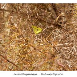 Luzernevlinder