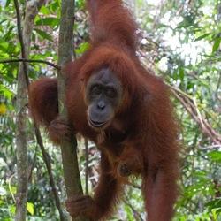 Sumatra 3