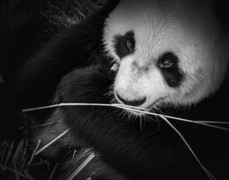 Dinertime. Wil je ook? - gister naar Ouwehands Dierenpark geweest. Met deze foto&#039;s was ik wel blij. <br /> Panda Xing Ya was gelukkig heel actie
