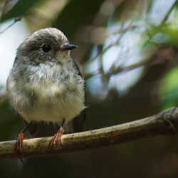 North Island Robin (vrouw)