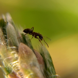 De mier