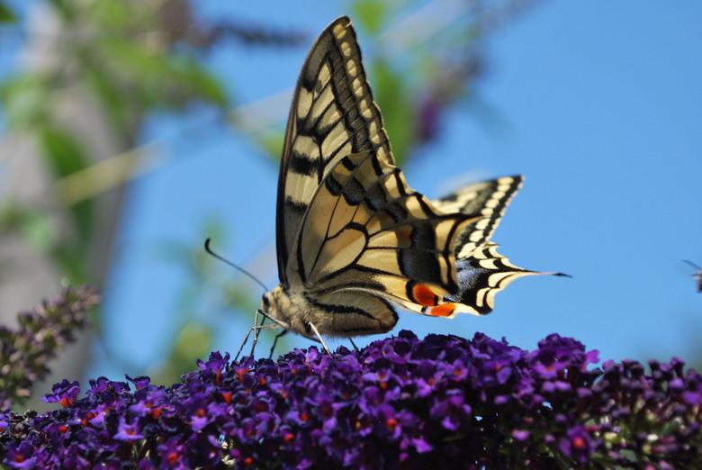 vlinder - het is wat laat maar toch iets van de lente