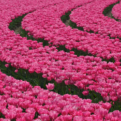 tulips..10