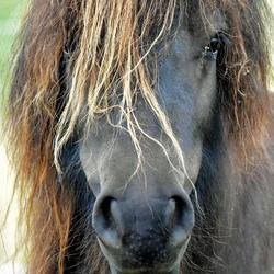 gecropt ponyhoofd