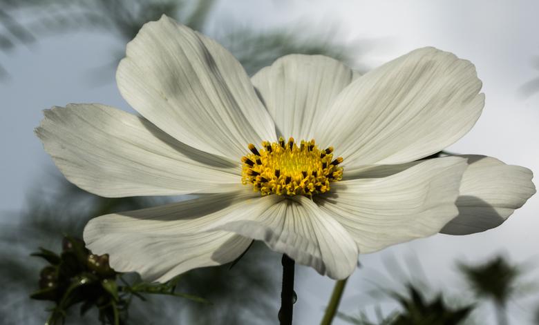 Op de valreep toch nog de Cosmea in de bloei gekregen.