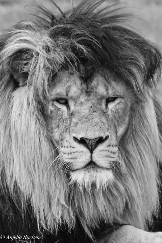 lionking  - De koning van de leeuwen safaripark Beekse Bergen