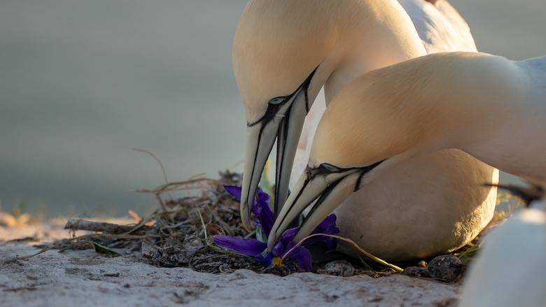 Helgoland - Dit mannetje kwam aanvliegen met een Iris in zijn snavel. Ik was net te laat dit moment vast te leggen. Hier zijn ze samen druk om de Iris