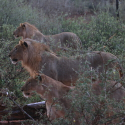 Leeuwen in de regen