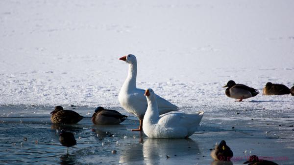 winter - beesten op het water