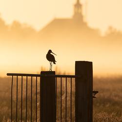 Grutto tijdens een mistige ochtend