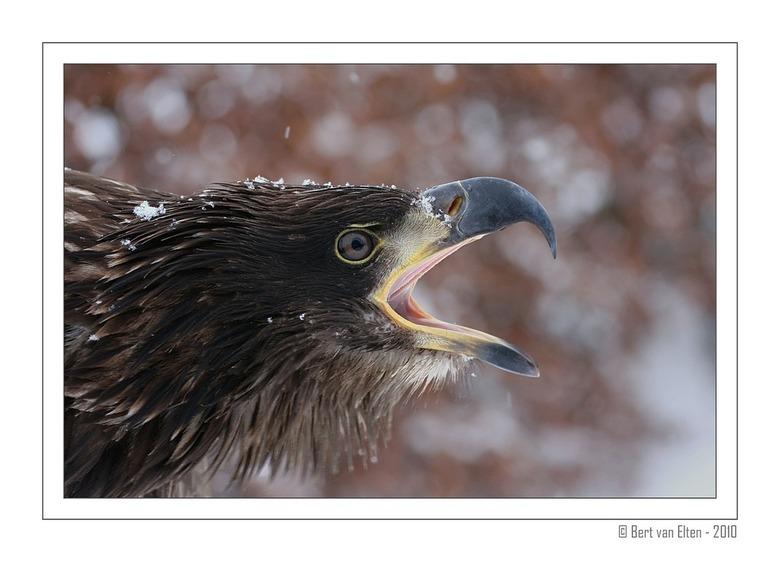 Screaming Bald Eagle - Bekijk mij even in de vergroting voor de details.<br /> <br /> Deze jonge zeearend heb ik tijdens een van de recente sneuwbui
