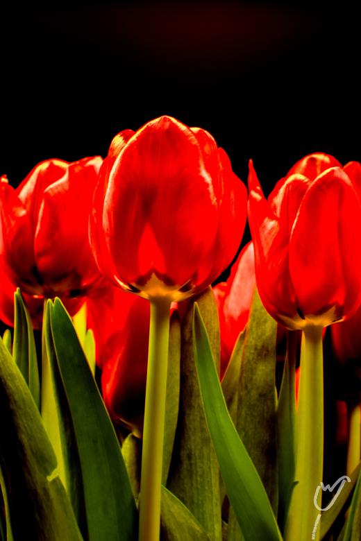 Trots - Lekker knallen met tulpen!