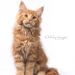 Maine Coon kitten Orchidsvalley Abu