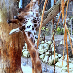 Giraf.jpg