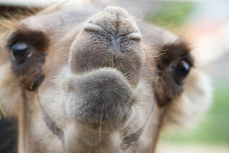 Kameel - Ik was me aan het oriënteren hoe ik de kamelen op de foto kon krijgen. Op eens kwam hij voorbij. Blijft een apart beeld, alleen jammer dat ik