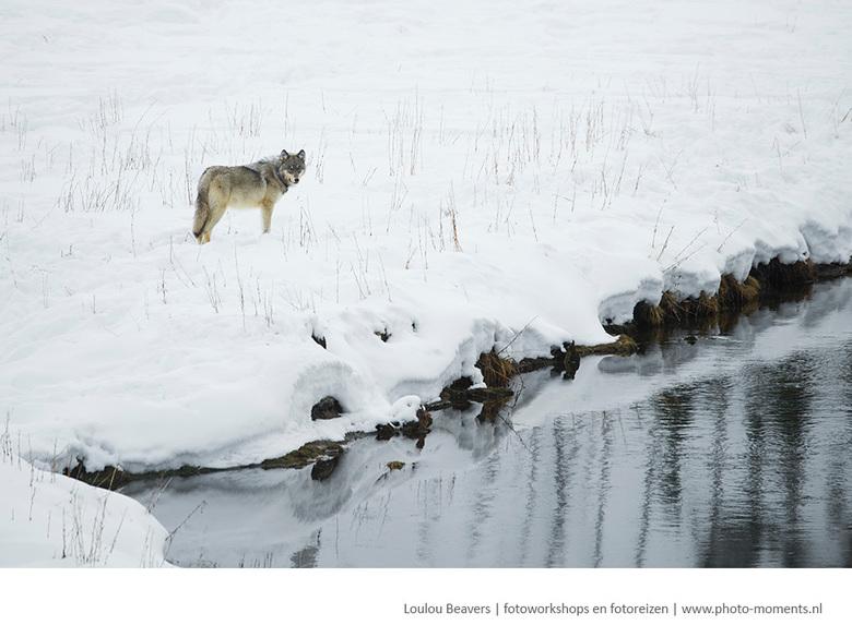 Wolf - Sinds de negentiger jaren zijn er weer wolven in Yellowstone. het hele eco systeem heeft hier duidelijk voordeel bij. In de winter is de kans o