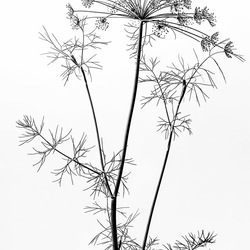 Dille, zwart-wit