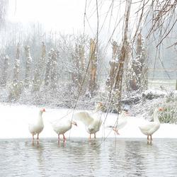 Ganzen in de winter