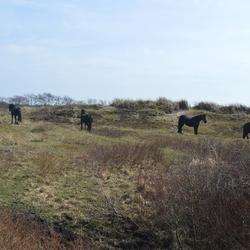 Zwarte paarden in het duin