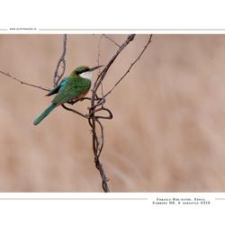 Somali-Bee-eater, Kenia