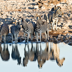 zebra reflection