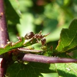 Luizen worden gemolken door een mier