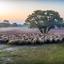 Herder met schapen in het vroege ochtendlicht