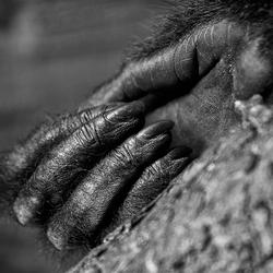 Hand van een Siamang (Gibbon)