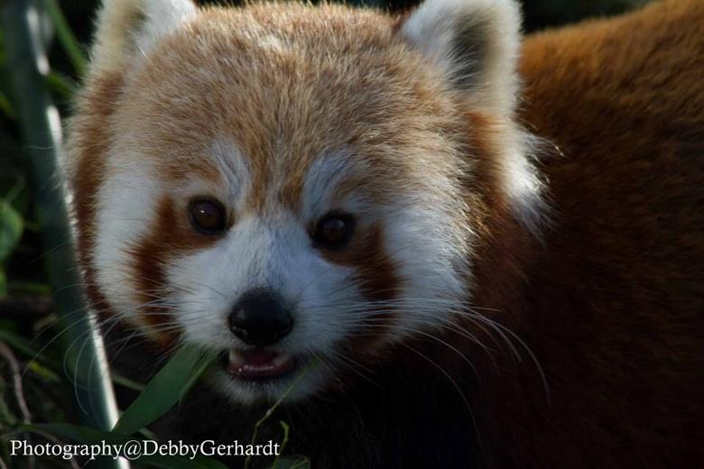 image.jpgrode panda - Rode panda in Blijdorp Zoo