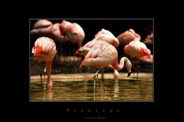 Flamingo's - Dit groepje Flamingo's kwam ik tegen in Sea World. Wat een prachtige ervaring was dat park. Gewoonweg genieten... Prachtig aangelegd
