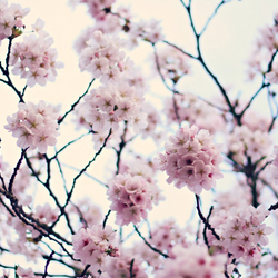 blossom here