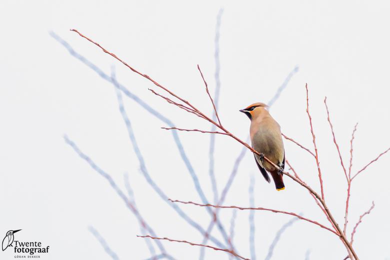 Pestvogel - Pestvogel op zoek naar besjes