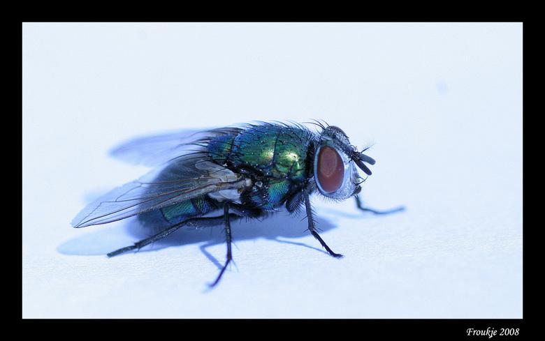 Stil - Gelukkig bleef deze vlieg even stil zitten want het blijft toch nog moelijk om ze een beetje scherp vast te leggen, nog niet helemaal goed gelu