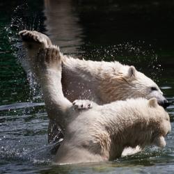 IJsberen Dans