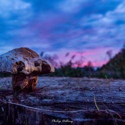 Purple Rain Mushroom